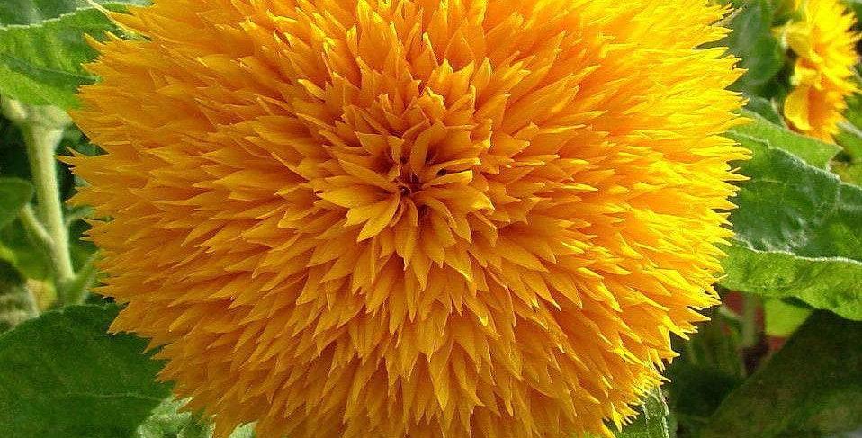 Sunflower- Teddy Bear                10 Seeds