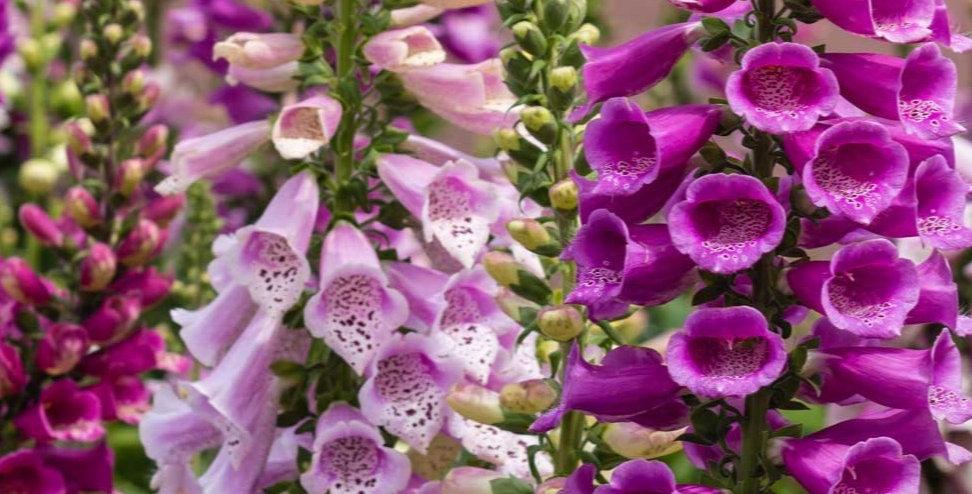 Digitals Carousel- Foxglove Mixed     50 Seeds