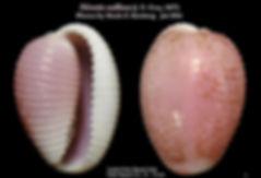 N. suffusa 2.JPG
