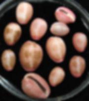 Pusula pediculus Eleuthera 2020-02-01 00