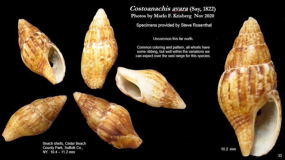 Costoanachis avara 33.JPG