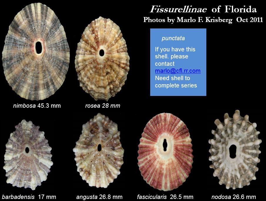 Fissurella fascicularis .JPG