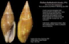Mitra barbadensis 1.JPG