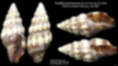 Vexillum gemmatum 6.JPG