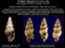 gemmata vs exiguum.JPG