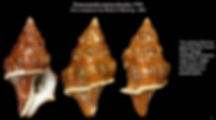 Leucozonia nassa 3.JPG