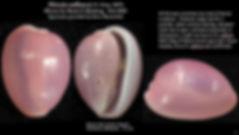 Niveria suffusa Eleuthera 5.JPG