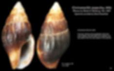 Coastoanachis avara 32.JPG