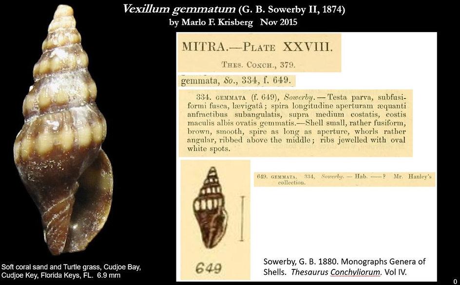 Vexillum gemmatum 0.JPG