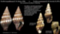 Vexillum moniliferum 6.JPG