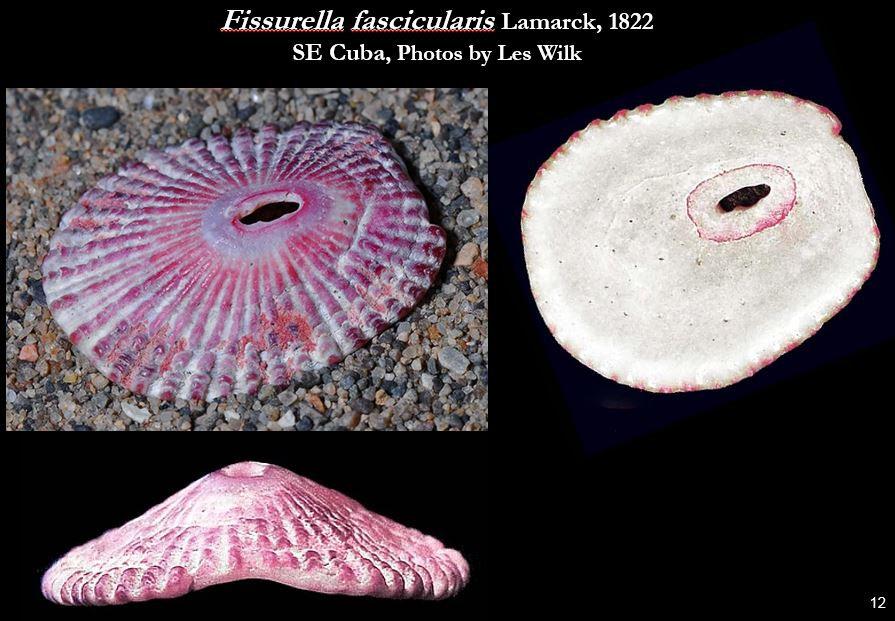 Fissurella fascicularis 12.JPG