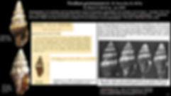 V gemmatum & Cernohorsky.JPG