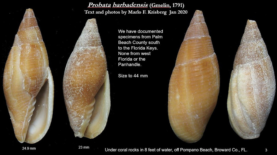 Mitra barbadensis 3.JPG