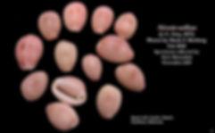 Niveria suffusa Eleuthera 6.JPG