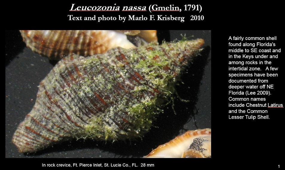 Leucozonia nassa 1.JPG