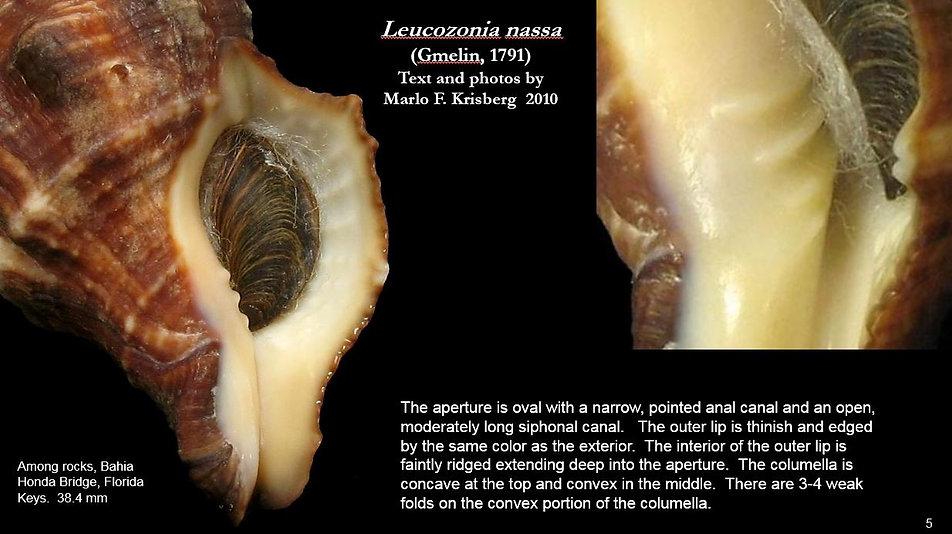 Leucozonia nassa 5.JPG