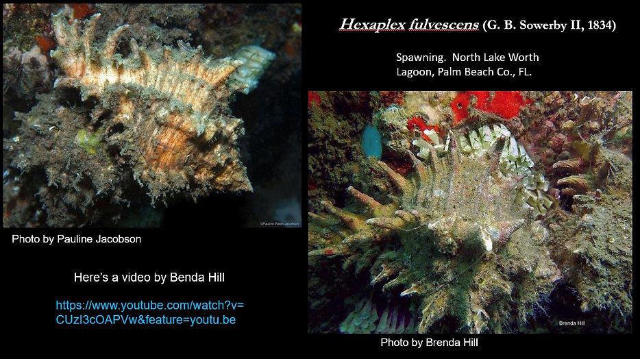 Hexaplex 3.JPG