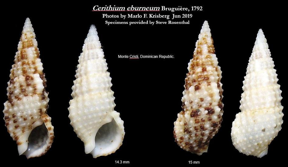 Cerithium eburneum.JPG