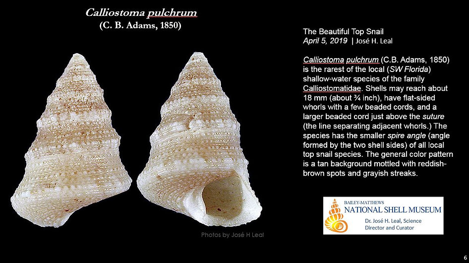 Calliostoma pulchrum 6.JPG