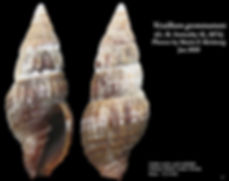 Vexillum gemmatum 7.JPG