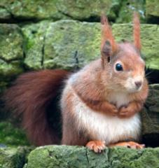 Cornwall Red Squirrel Project Talk at Malpas