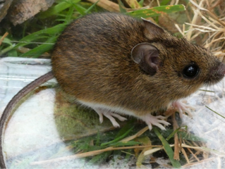 Trevose Head – small mammal surveys with the National Trust