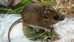 Trevose Head – small mammal surveys with the National Trust