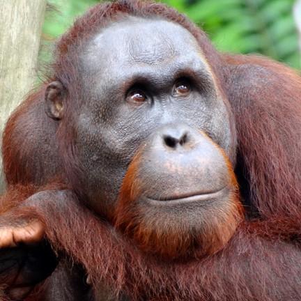 The Orangutan and Palm oil