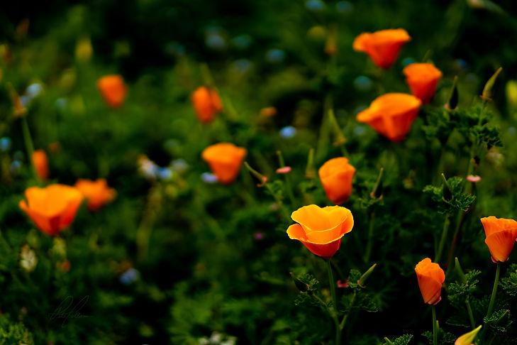 Poppies less.jpg