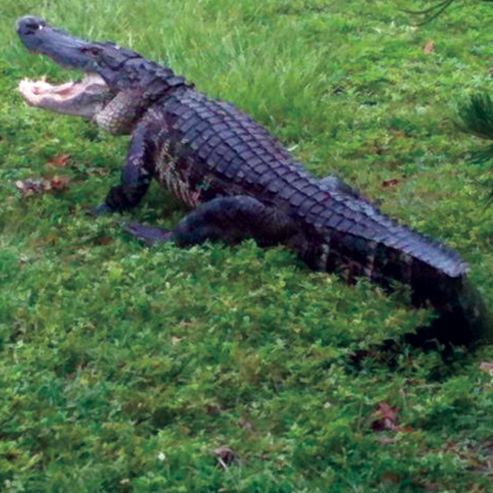 Alligator trapped by Ray the Trapper