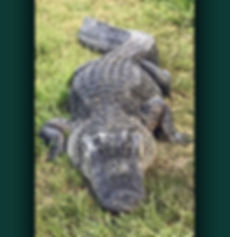 Longest alligator trapped by Ray the Trapper