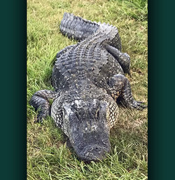 Ray the Trapper Large Gator