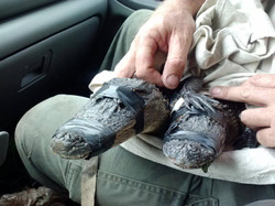 Baby alligators and Ray the Trapper