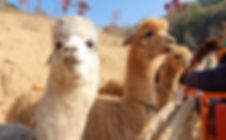 Alpaca World - Animals Farm in Nature & Getting There | Hongcheon, South Korea