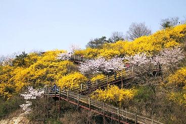 Eungbongsan (Mountain) - Forsythia Flowers in Spring & Getting There   Seoul, South Korea