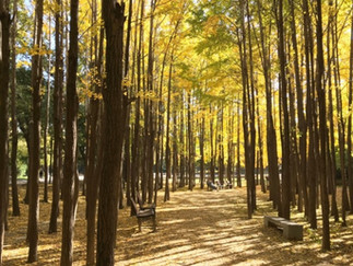 Seoul Forest - Ginkgo Tree Forest