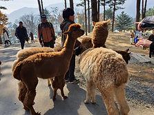 Alpaca Pasture, Nami Island & The Garden of Morning Calm Day Tour
