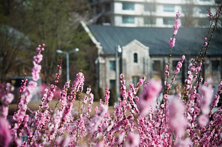 Top Places for Cherry Blossoms & Spring Flowers in Seoul - Ewha Womans University | KoreaToDo