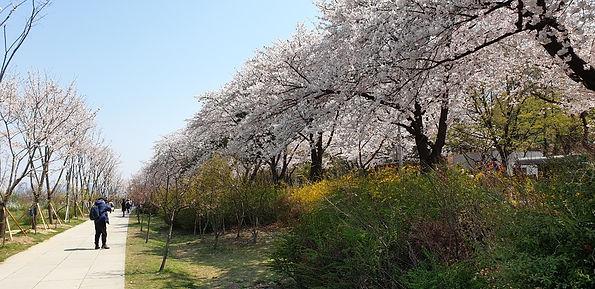 Yeongdeungpo Yeouido Spring Flower Festival 2021