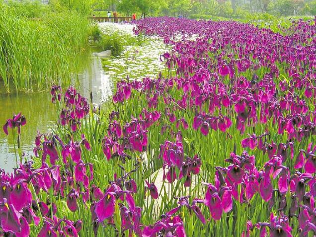 Seoul Iris Garden