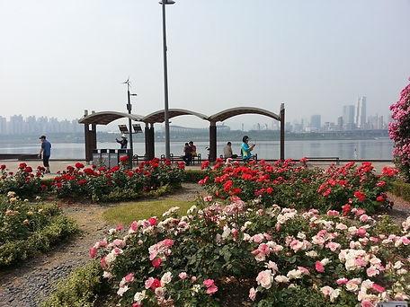 Ttukseom Hangang Park - Rose Garden