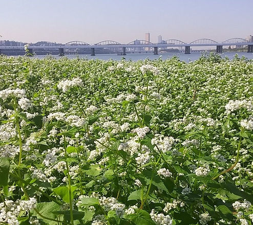 Seorae Island Buckwheat Flower Festival 2020