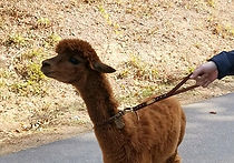 Recommended Day Tours from Seoul - Alpaca World | KoreaToDo