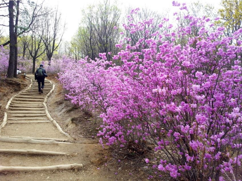 Top Places for Cherry Blossoms & Spring Flowers in Seoul - Cheonggyesan Mountain | KoreaToDo