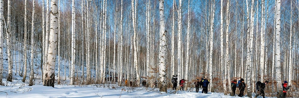 Wondaeri Birch Forest - Winter - Banner.