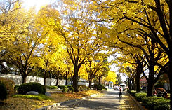 TOP Autumn Foliage Places in/outside Seoul - Road leading to Cheong Wa Dae | KoreaToDo
