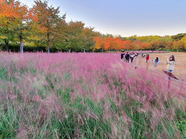 Olympic Park - Pink Muhly Grass