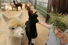 Seoraksan National Park & Alpaca World One Day Tour