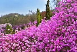 Wonmisan Azalea Festival & Ilsan Lake Park Cherry Blossoms Tour