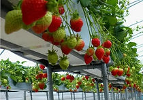Recommended To Do in Seoul - Strawberry Picking | KoreaToDo